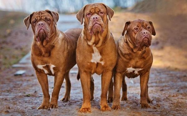 Бойцовские-породы-собак-Описания-названия-и-виды-бойцовских-собак-27