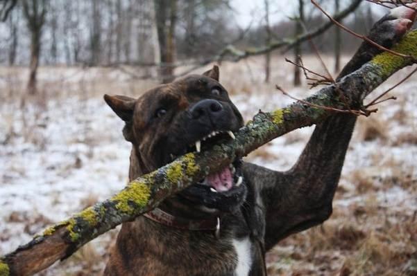 Бойцовские-породы-собак-Описания-названия-и-виды-бойцовских-собак-3
