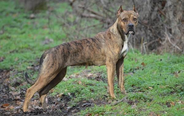 Бойцовские-породы-собак-Описания-названия-и-виды-бойцовских-собак-4