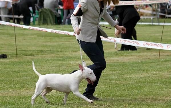 Бультерьер-собака-Описание-особенности-цена-уход-и-содержание-бультерьера-11