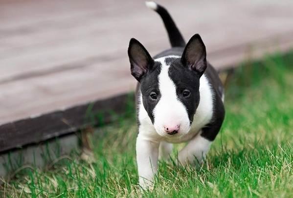 Бультерьер-собака-Описание-особенности-цена-уход-и-содержание-бультерьера-12