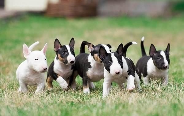 Бультерьер-собака-Описание-особенности-цена-уход-и-содержание-бультерьера-13