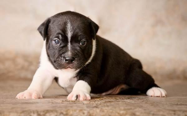 Бультерьер-собака-Описание-особенности-цена-уход-и-содержание-бультерьера-14