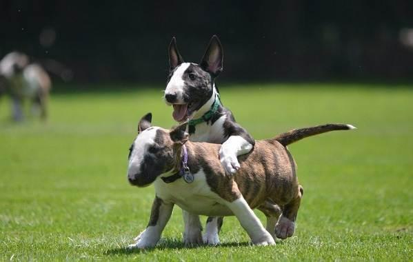 Бультерьер-собака-Описание-особенности-цена-уход-и-содержание-бультерьера-16