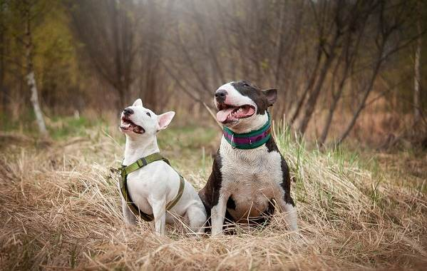 Бультерьер-собака-Описание-особенности-цена-уход-и-содержание-бультерьера-17
