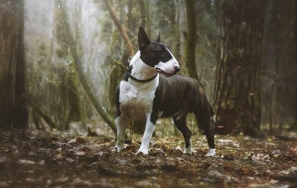 Бультерьер-собака-Описание-особенности-цена-уход-и-содержание-бультерьера-19
