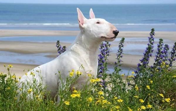 Бультерьер-собака-Описание-особенности-цена-уход-и-содержание-бультерьера-2