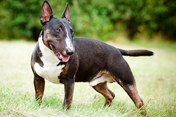 Бультерьер-собака-Описание-особенности-цена-уход-и-содержание-бультерьера-3