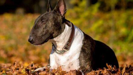 Бультерьер собака. Описание, особенности, цена, уход и содержание бультерьера