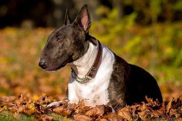 Бультерьер-собака-Описание-особенности-цена-уход-и-содержание-бультерьера-4