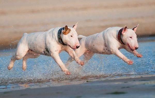 Бультерьер-собака-Описание-особенности-цена-уход-и-содержание-бультерьера-5