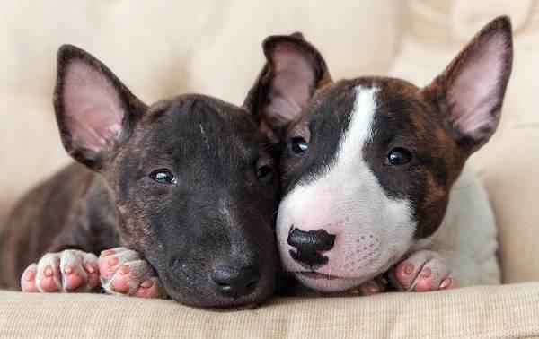 Бультерьер-собака-Описание-особенности-цена-уход-и-содержание-бультерьера-6