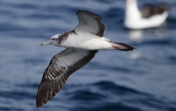 Буревестник-птица-Описание-особенности-виды-образ-жизни-и-среда-обитания-буревестника-10