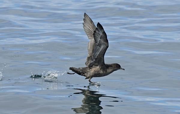 Буревестник-птица-Описание-особенности-виды-образ-жизни-и-среда-обитания-буревестника-11