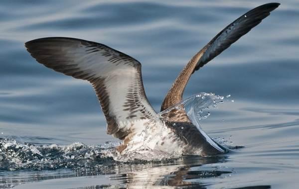 Буревестник-птица-Описание-особенности-виды-образ-жизни-и-среда-обитания-буревестника-12