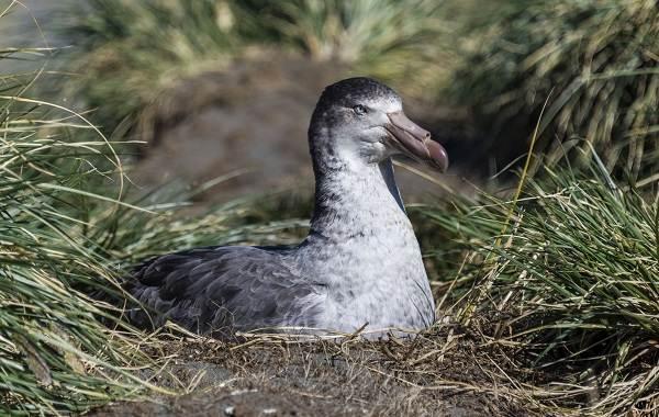 Буревестник-птица-Описание-особенности-виды-образ-жизни-и-среда-обитания-буревестника-2