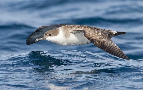 Буревестник-птица-Описание-особенности-виды-образ-жизни-и-среда-обитания-буревестника-3