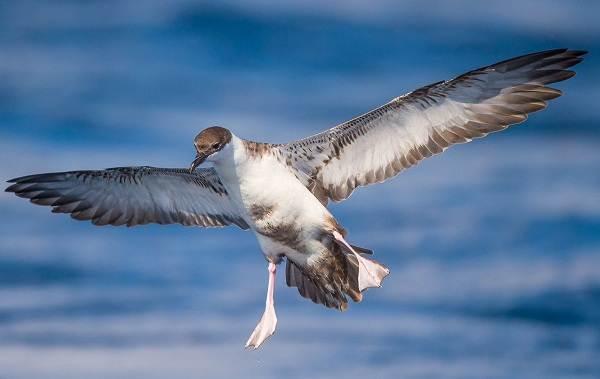 Буревестник-птица-Описание-особенности-виды-образ-жизни-и-среда-обитания-буревестника-5