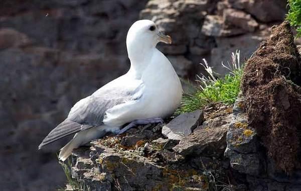 Буревестник-птица-Описание-особенности-виды-образ-жизни-и-среда-обитания-буревестника-6