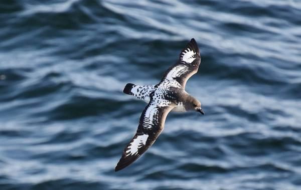 Буревестник-птица-Описание-особенности-виды-образ-жизни-и-среда-обитания-буревестника-7