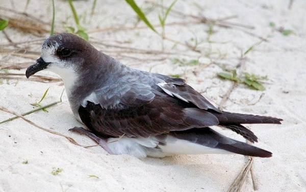Буревестник-птица-Описание-особенности-виды-образ-жизни-и-среда-обитания-буревестника-8