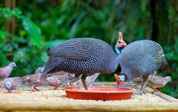 Цесарка-птица-Описание-особенности-виды-образ-жизни-и-среда-обитания-цесарки-11