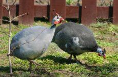 Цесарка птица. Описание, особенности, виды, образ жизни и среда обитания цесарки