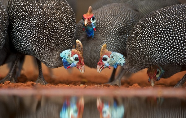 Цесарка-птица-Описание-особенности-виды-образ-жизни-и-среда-обитания-цесарки-18
