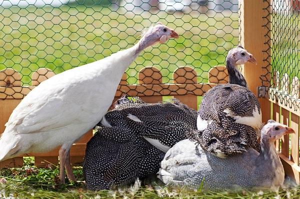 Цесарка-птица-Описание-особенности-виды-образ-жизни-и-среда-обитания-цесарки-19