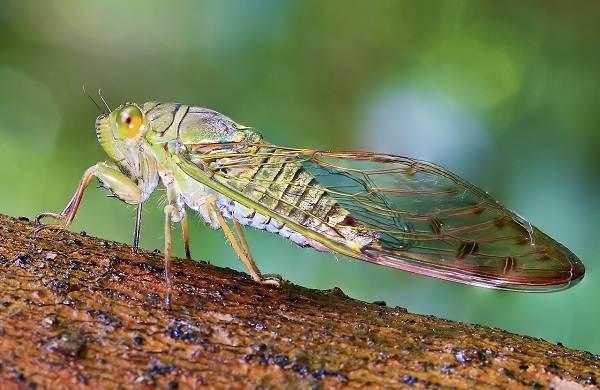 Цикада-насекомое-Описание-особенности-виды-образ-жизни-и-среда-обитания-цикады-1