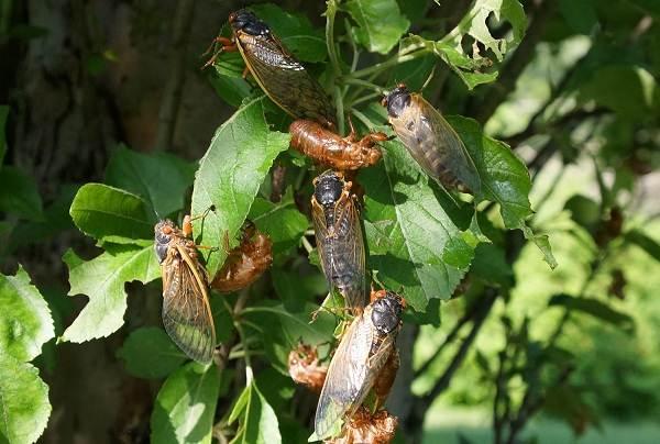 Цикада-насекомое-Описание-особенности-виды-образ-жизни-и-среда-обитания-цикады-10