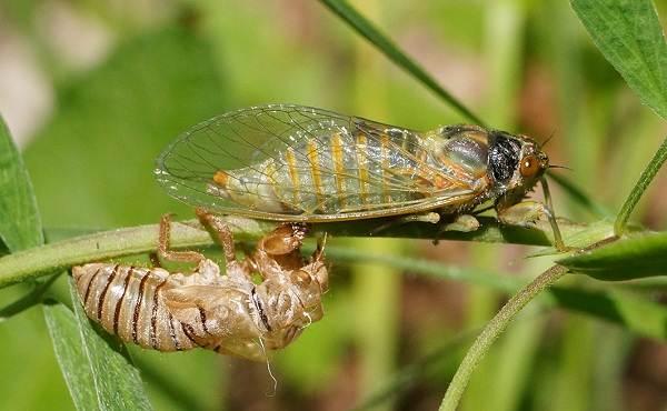 Цикада-насекомое-Описание-особенности-виды-образ-жизни-и-среда-обитания-цикады-11