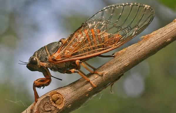 Цикада-насекомое-Описание-особенности-виды-образ-жизни-и-среда-обитания-цикады-12