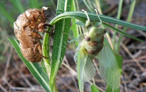 Цикада-насекомое-Описание-особенности-виды-образ-жизни-и-среда-обитания-цикады-15