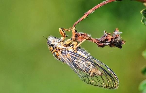 Цикада-насекомое-Описание-особенности-виды-образ-жизни-и-среда-обитания-цикады-2