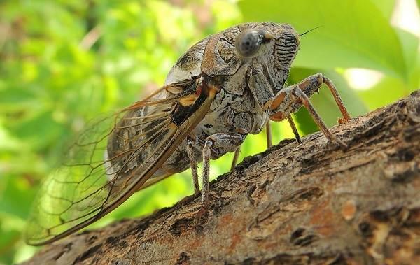 Цикада-насекомое-Описание-особенности-виды-образ-жизни-и-среда-обитания-цикады-3