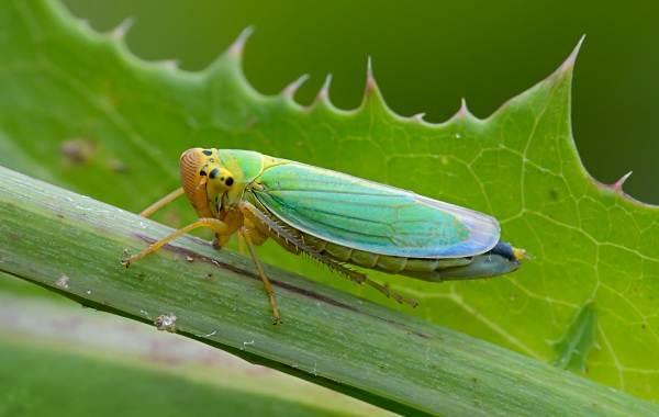 Цикада-насекомое-Описание-особенности-виды-образ-жизни-и-среда-обитания-цикады-5