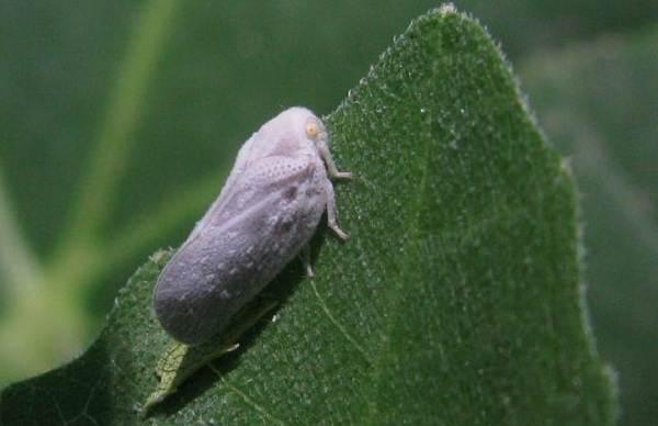 Цикада-насекомое-Описание-особенности-виды-образ-жизни-и-среда-обитания-цикады-6
