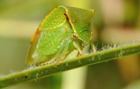 Цикада-насекомое-Описание-особенности-виды-образ-жизни-и-среда-обитания-цикады-7