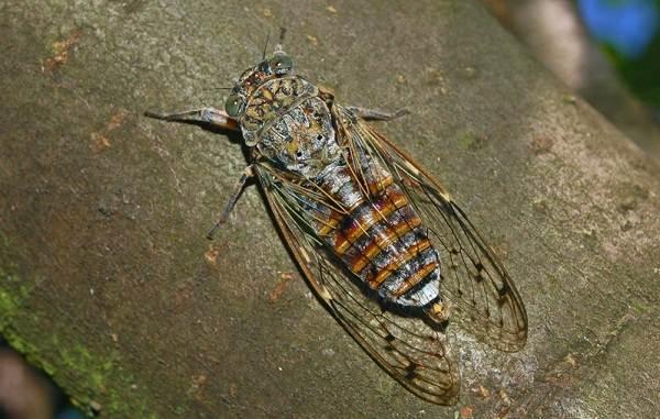 Цикада-насекомое-Описание-особенности-виды-образ-жизни-и-среда-обитания-цикады-9