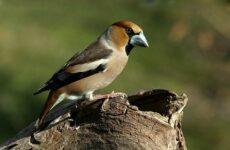 Дубонос птица. Описание, особенности, виды, образ жизни и среда обитания дубоноса
