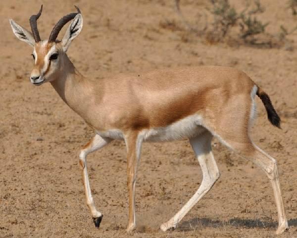 Джейран-животное-Описание-особенности-виды-образ-жизни-и-среда-обитания-джейрана-1