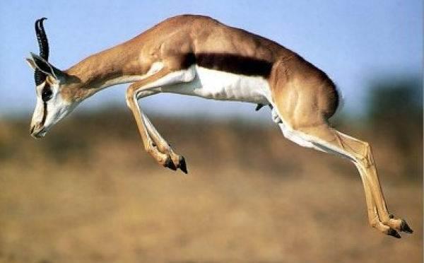 Джейран-животное-Описание-особенности-виды-образ-жизни-и-среда-обитания-джейрана-2