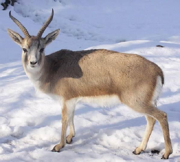 Джейран-животное-Описание-особенности-виды-образ-жизни-и-среда-обитания-джейрана-5
