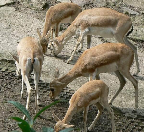 Джейран-животное-Описание-особенности-виды-образ-жизни-и-среда-обитания-джейрана-7