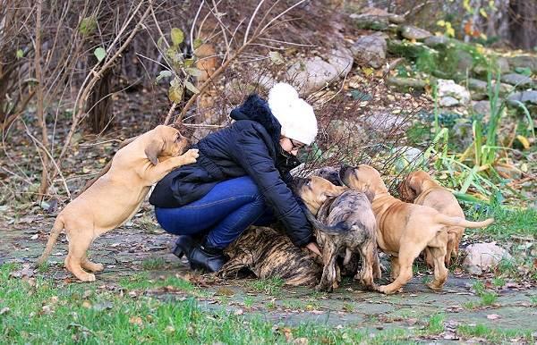 Фила-бразилейро-собака-Описание-особенности-цена-уход-и-содержание-породы-10