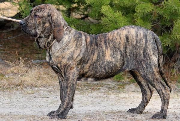 Фила-бразилейро-собака-Описание-особенности-цена-уход-и-содержание-породы-11