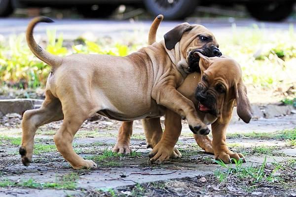 Фила-бразилейро-собака-Описание-особенности-цена-уход-и-содержание-породы-17