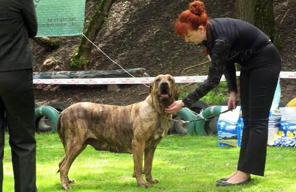 Фила-бразилейро-собака-Описание-особенности-цена-уход-и-содержание-породы-19