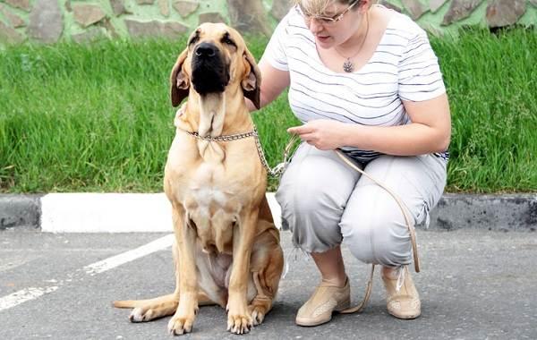 Фила-бразилейро-собака-Описание-особенности-цена-уход-и-содержание-породы-20